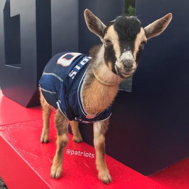 goat wearing tom brady jersey